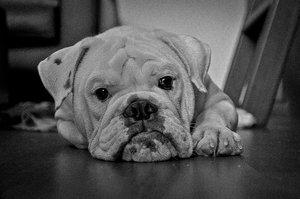 mia___british_bulldog_by_matjani-d4rs3sf
